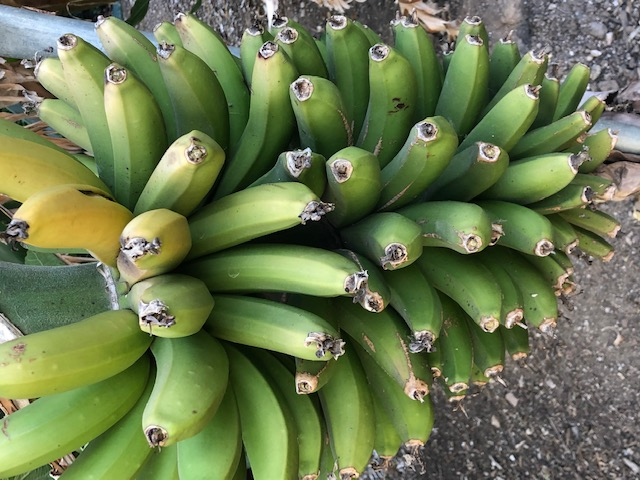 BunchofBananas
